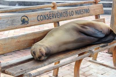 The Galapagos sea lion sleeping on a bench