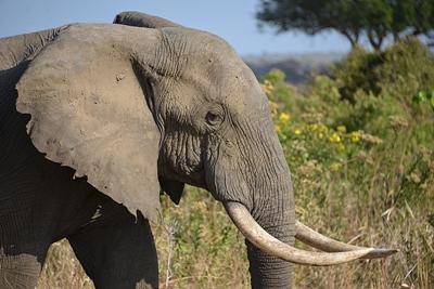 An elephant in Tanzania, Africa