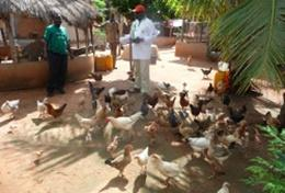 Agriculture & Farming volunteers help with feeding chickens at an organic farm in Togo.