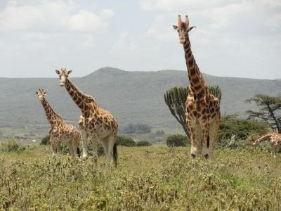 Giraffes in Kenya, near the conservation placement