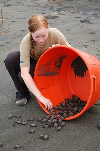 Conservation volunteer releasing baby turtles