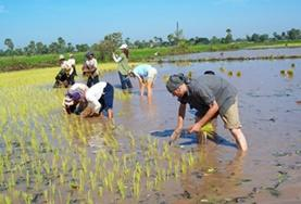 A group of older volunteers help with planting rice in a Khmer community in Cambodia.