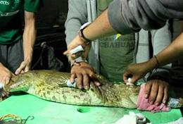 With the help of local veterinary staff, a qualified veterinarian performs a check-up on a crocodile in rehabilitation at a volunteer animal care placement.