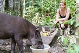 A Conservation High School Special volunteer helps with rehabilitating a rescued tapir at our placement in Peru.