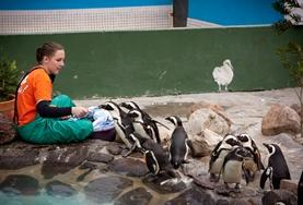 An Animal Care volunteer feeds African Peguins at a centre for the rehabilitation of coastal birds in South Africa.