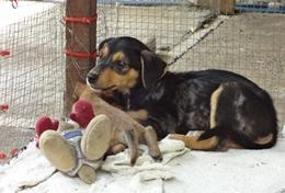 A dog enjoys the toys given to him by volunteers at our Veterinary Medicine & Animal Care placement in Samoa.